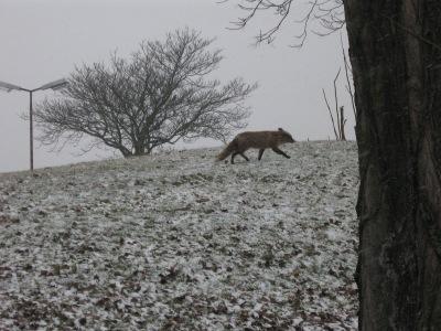 Fuchs spaziert am Columbiadamm auf THF